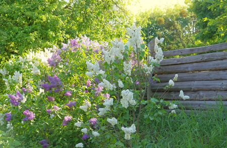 Romantic background: the old wooden fence and lilac on sunlight photo