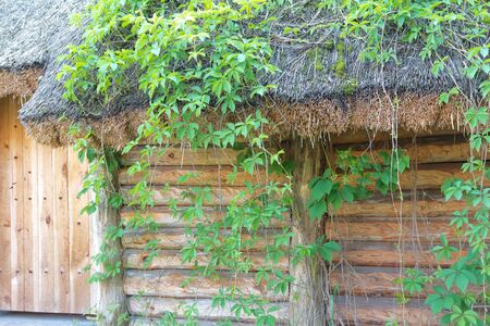 Old wooden house covered in green ivy photo