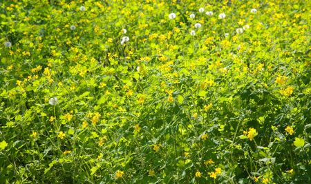 Yellow wild flowers - beautiful light spring background photo