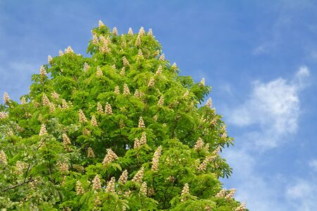 Blooming chestnut tree with white flowers and blue sky photo