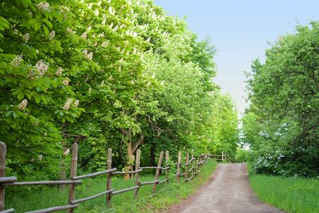 Chestnut trees along a road in rural Ukraine photo
