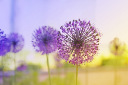 Beautiful Onion (Allium Giganteum) blooming in a garden