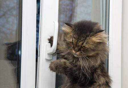 Cute angry domestic cat opening a window