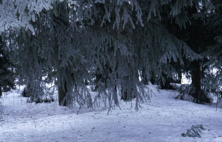 picea: Picea abis.
