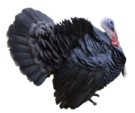 holiday turkey: Side view of a black turkey isolated on a white background.