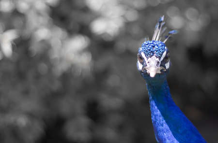 indian blue: Close-up of Indian Blue Peacock with shallow depth of field. B&W background with space for copy.
