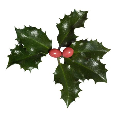 Holly leaves and berries (Ilex aquifolium) isolated on a white background photo