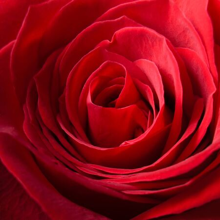 Macro image of the center of a red rose Stok Fotoğraf