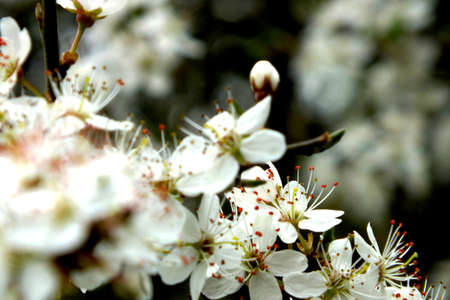 Blackthorn tree blossom photo