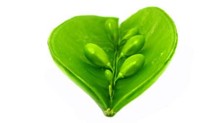 Closeup image of fresh peas in a pod photo