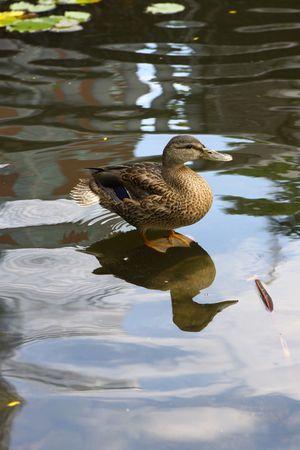 duck in a pond Stok Fotoğraf