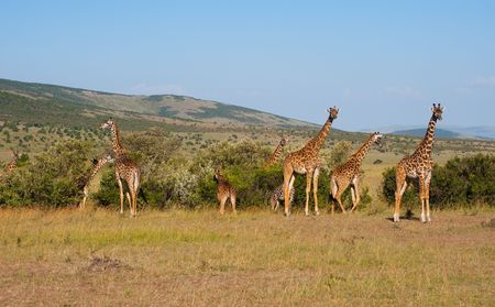 A group of giraffes in Masai Mara national park in Kenya. Stock Photo - 6528016