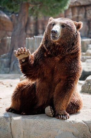 grizzly: Un grizzli du zoo de Madrid, accueillir les visiteurs.