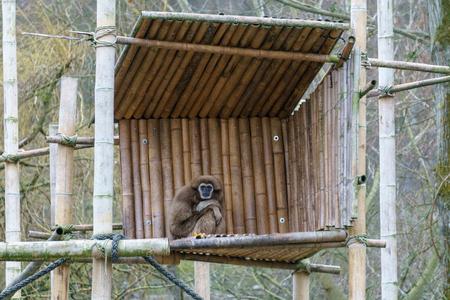 Gibbon sitting on a wooden platform 免版税图像