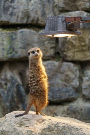 Meerkat enjoying the warm light