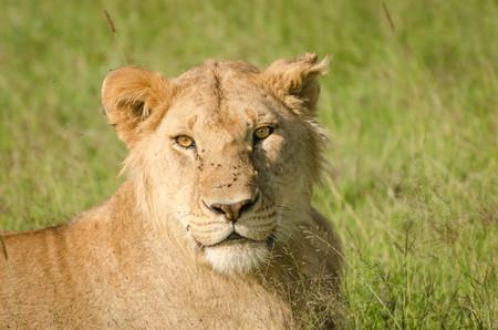 gaze: Lions Gaze, Masai Mara, Kenya