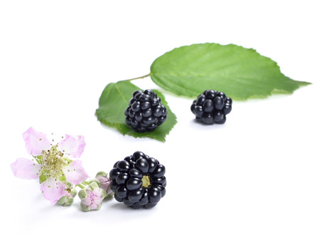 blackberry bush: Fresh blackberries with flower and copyspace. Ripe blackberries isolated on white background.