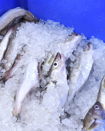crushed ice: Fresh fish on a fish market cooled with crushed ice. Fresh hake in a blue box, close-up shot. Stock Photo
