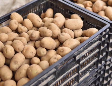 weekly market: Heap of fresh potatoes on a weekly market. Market stall with potatoes in boxes. Outdoor market, close-up of raw potatoes. Stock Photo