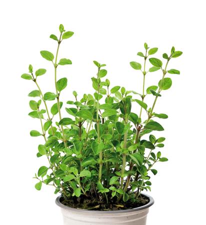 oregano plant: Fresh, green oregano, isolated on white background. Oregano in a flower pot or plant pot. Fresh herb. Cooking ingredient.