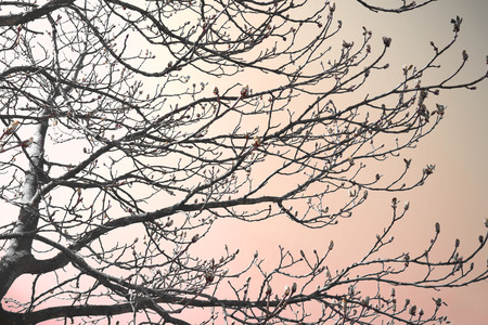 Bud tree in the sunset. Toned image of a bare tree with blossom buds. High contrast or silhouette image.