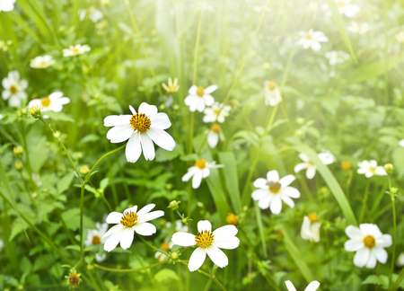 macroshot: Spring meadow with sunlight and white flowers with selective focus and copy space. Nature background in springtime.