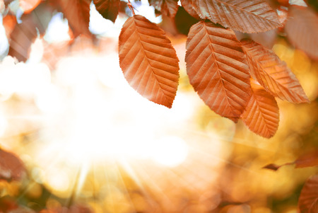 beech tree beech: Beech tree with selective focus of the foreground and bright sun with smooth light. Nature background in autumn with copyspace and red leaves. Stock Photo