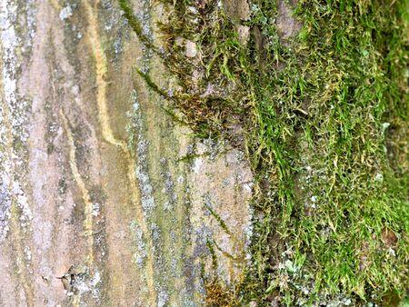 beech tree beech: beech tree trunk, close up.