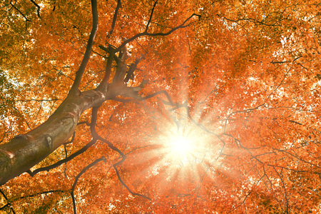 beech tree beech: Beech tree with bright sun. Nature background in autumn with copyspace and red leaves.