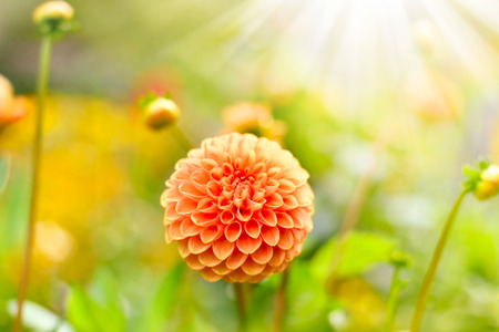 focus on the foreground: Orange dahlia flowers with selective focus on the foreground. Orange Flowers with copy space and sunlight. Stock Photo