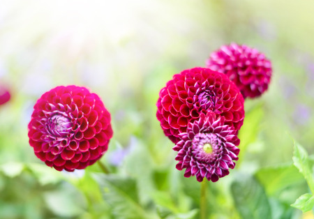 focus in foreground: Pink dahlia flowers with selective focus on the foreground. Pink Flowers with copy space and sunlight.
