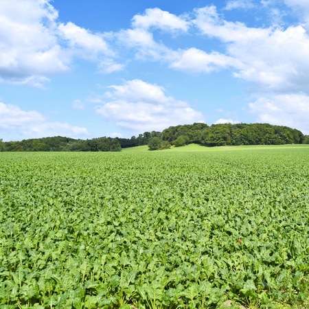 acreage: Beet field in the sun with blue sky and fluffy clouds. Farmland and forest in the background with copy space. Agriculture summer scene.