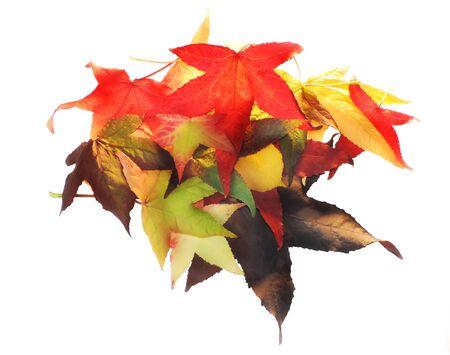 lush foliage: Lush foliage or autumn leaves, isolated on white.