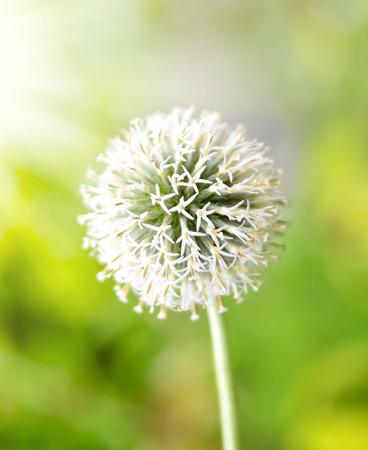 focus on the foreground: White garlic flower with copyspace and selective focus on the foreground. Allium cepa, white flower in the sunlight.