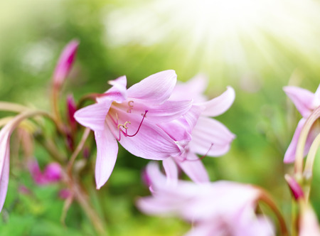 belladonna: Pink lilies or amaryllis belladonna with selective focus and copy space. Beautiful pink flowers and sunlight.