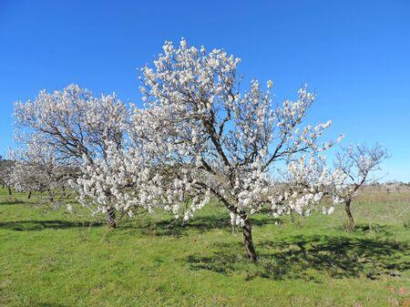 tree plantation: Almond tree plantation Stock Photo