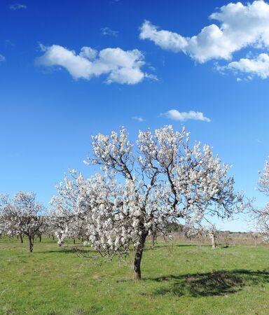 almond tree: Almond tree plantation Stock Photo