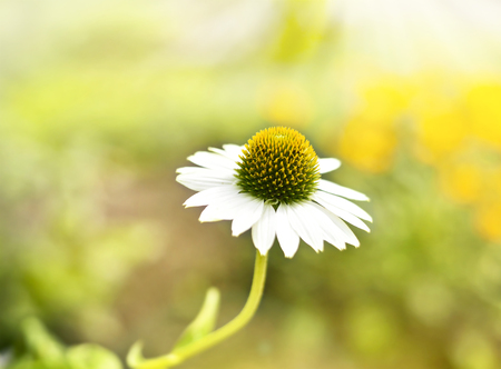 focus in foreground: Marguerite or white flower in the sun. Wildflower with copy space and selective focus on the foreground. Stock Photo
