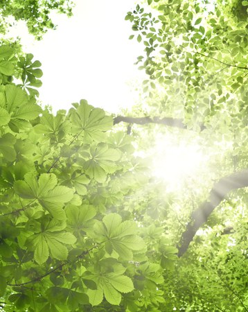 beech tree beech: Mixed forest with chestnut tree and beech tree in the sun. Low angle view to the tree tops and bright sunbeam with smooth light. Nature background in springtime with fresh green leaves and copyspace. Stock Photo