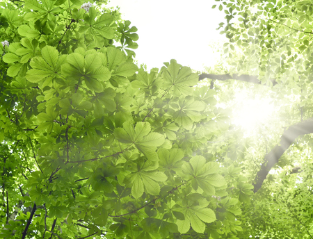 chestnut tree: Mixed forest with chestnut tree and beech tree in the sun. Low angle view to the tree tops and bright sunbeam with smooth light. Nature background in springtime with fresh green leaves and copyspace. Stock Photo