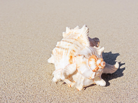 conch shell: Conch shell at the beach, selective focus on the foreground with copy space. Sand and sea shell. Stock Photo