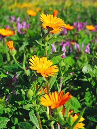 marguerites: Orange marguerotes and purple flowers on a flower field.