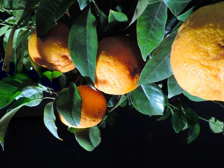 naranja arbol: �rbol de naranja, aislado en negro