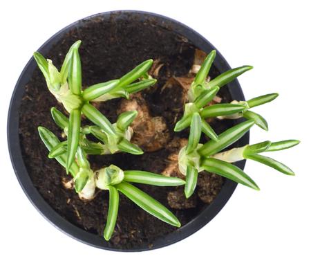 growing flowers: Flower pot or plant pot wit crocuses. Growing flowers. Stock Photo