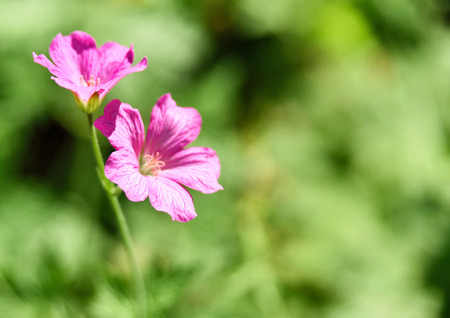 focus in foreground: Pink flowers with selective focus on the foreground Stock Photo