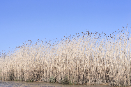 landscape riverside: Wetland with reeds and clear blue sky. Nature background, landscape on a riverside. Scenics. Stock Photo