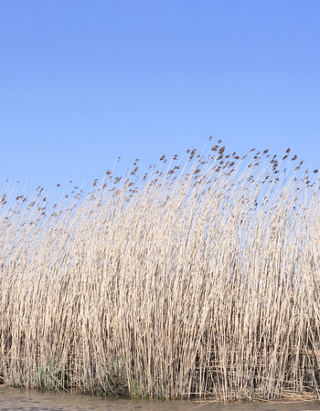 riverside landscape: Wetland with reeds and clear blue sky. Nature background, landscape on a riverside. Scenics. Stock Photo