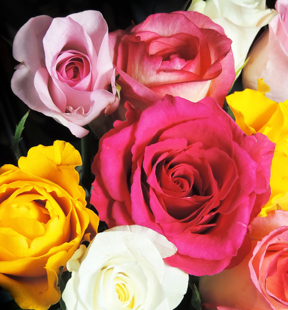 multi colored: Bouquet of multi colored roses, isolated on black