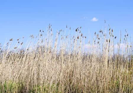 landscape riverside: Wetland with reeds and clear blue sky. Nature background, landscape on a riverside. Scenics. Reeds and beach dunes with view to the sea.