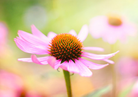 coneflowers: Red coneflowers or purple coneflowers in the sunlight. Sun and wild spring flowers with copy space. Summer wildflowers with smooth light and sunbeam. Golden light and pink flowers.